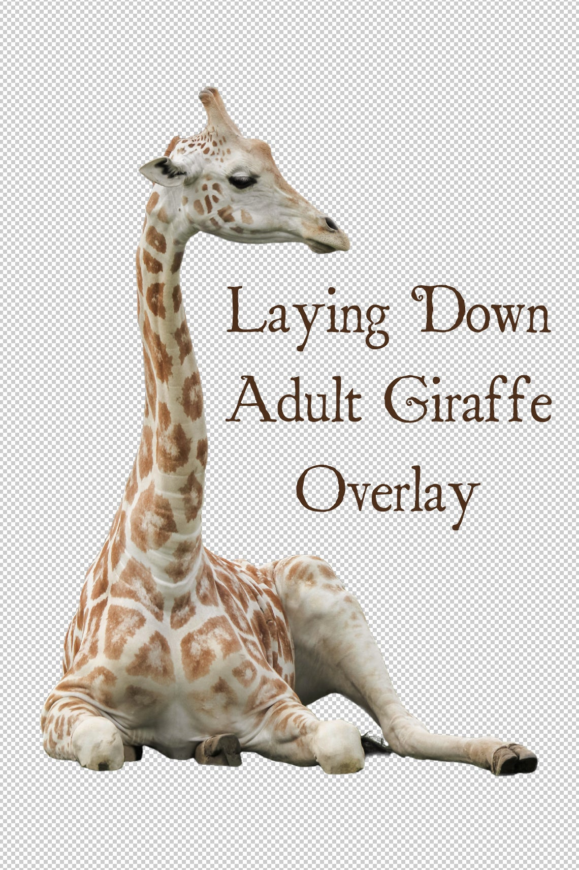 Image of Laying Down Adult Giraffe Overlay
