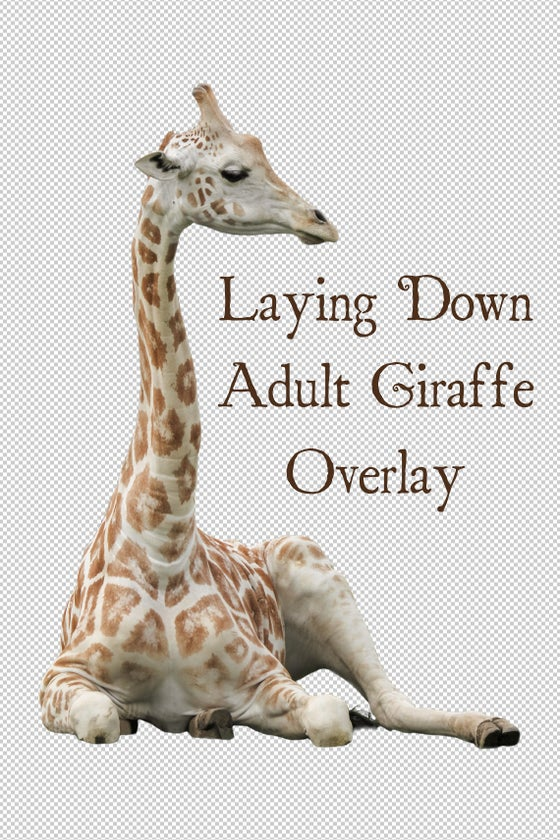 Image of Laying Down Adult Giraffe Overlay