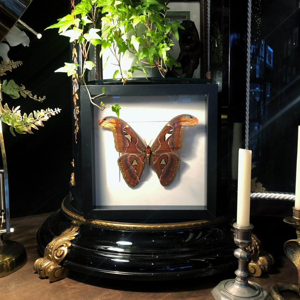 Image of Framed Attacus Atlas Moth