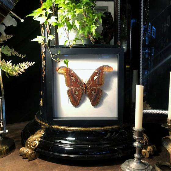 Image of Attacus Atlas Moth