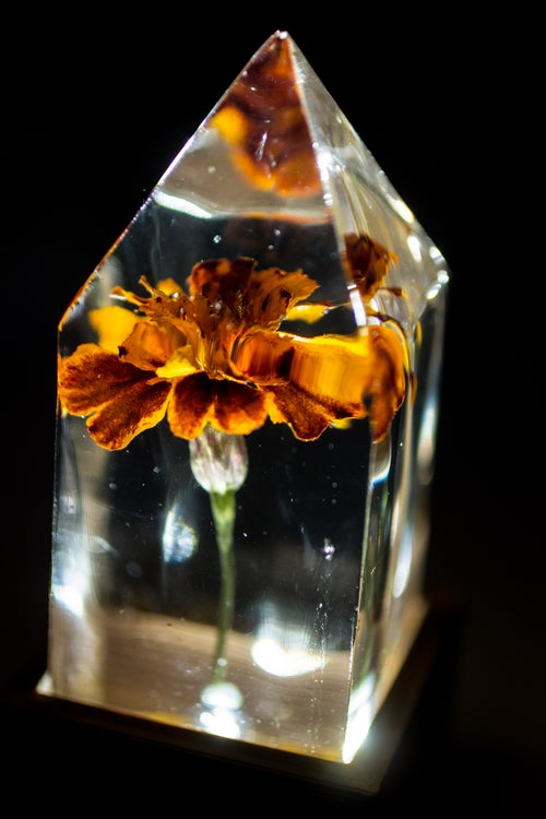 Image of French Marigold (Tagetes patula) - Floral Light #1