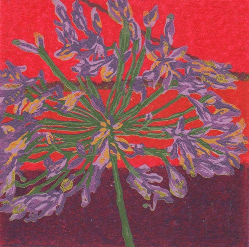 Image of African Lily Haze