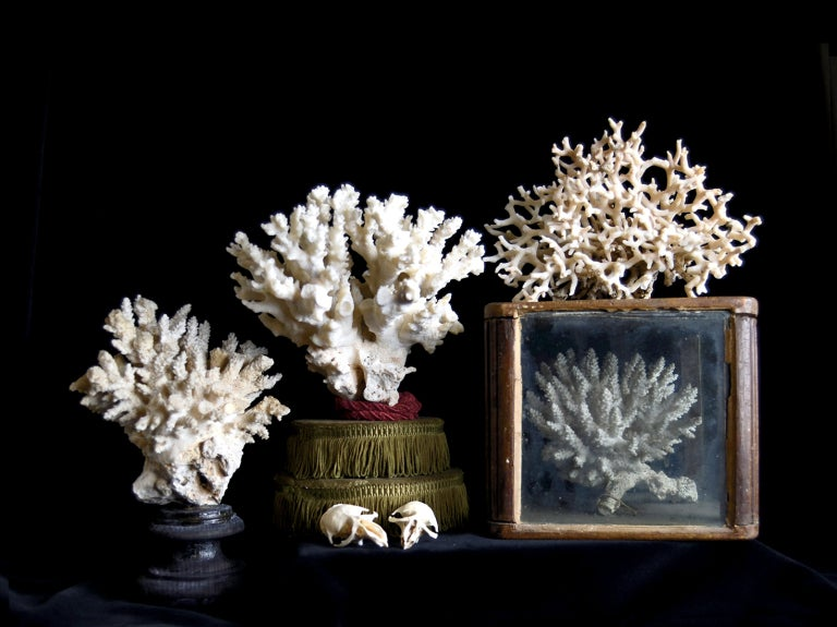 Image of An outstanding collection of antique white corals