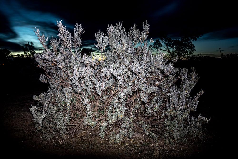 Image of Night saltbush