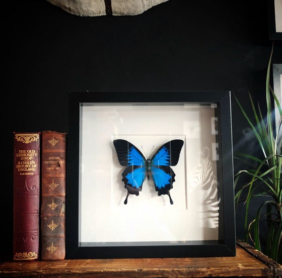Image of Framed Papilio Ulysses