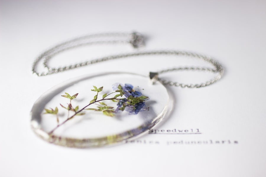 Image of Speedwell (Veronica peduncularis) - Large Oval #3