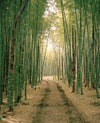 bamboo forest two