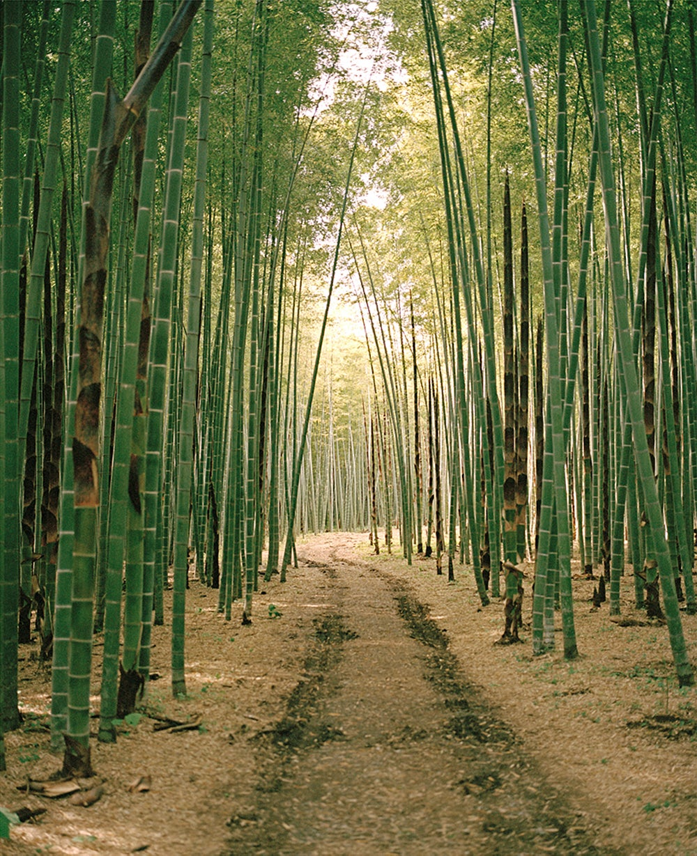 Image of bamboo forest two