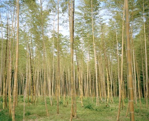 Image of bamboo forest three