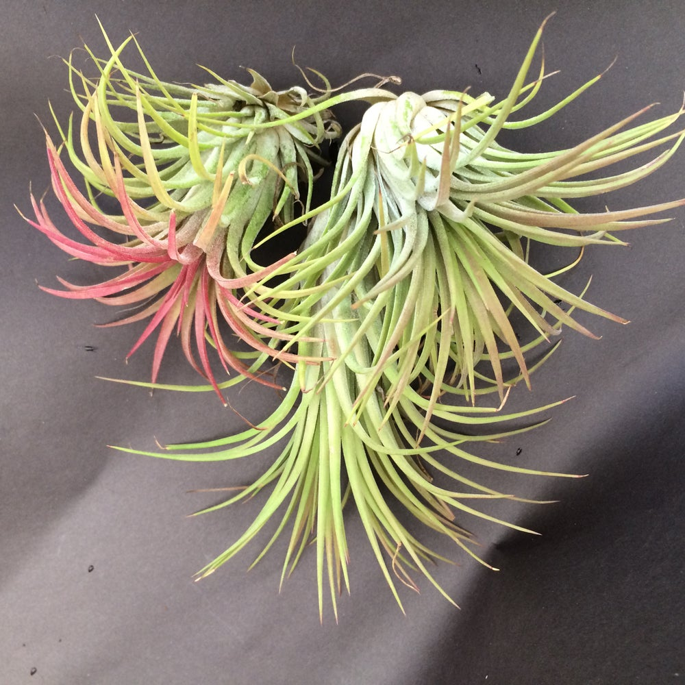Image of Tillandsia ionanatha XL