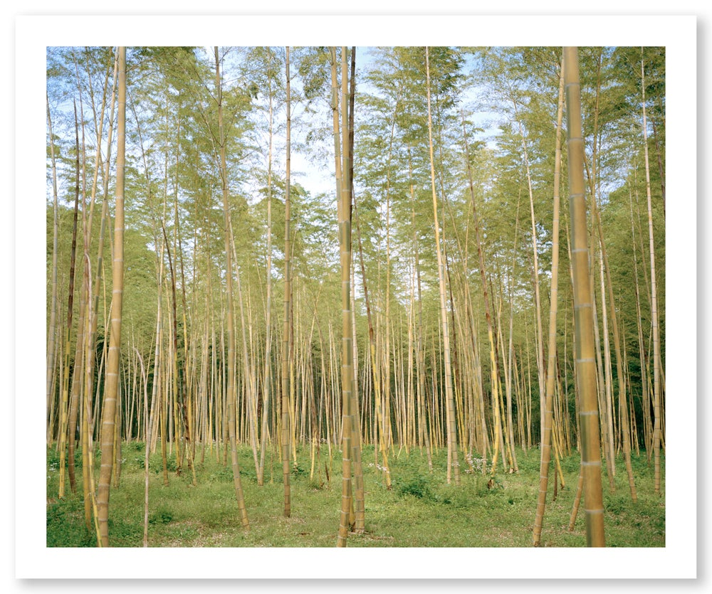 bamboo forest three