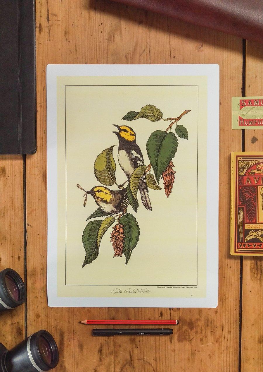 Image of Golden-Cheeked Warbler