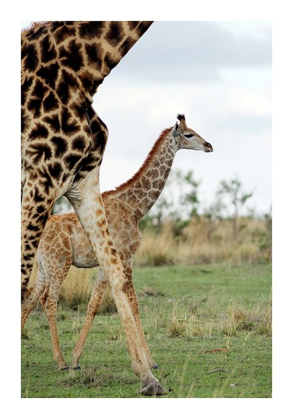 Image of Giraffe print 1