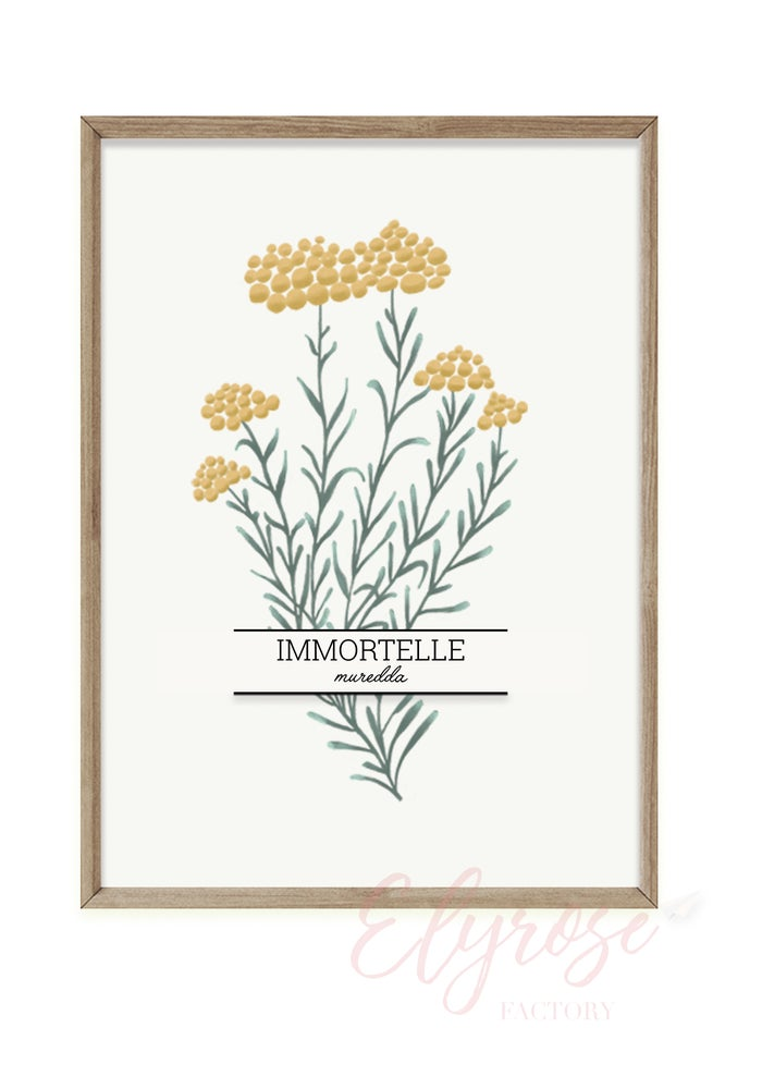 Image of Affiche Plante Aromatique - L'immortelle
