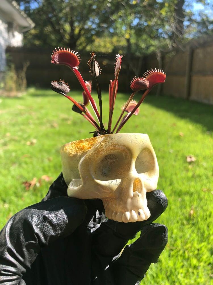 Image of Venus Flytrap Skull Planter