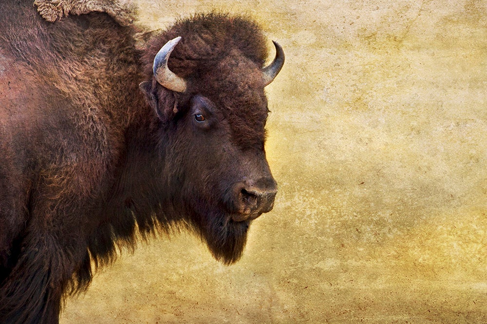 Image of Lone Bison II (note card)