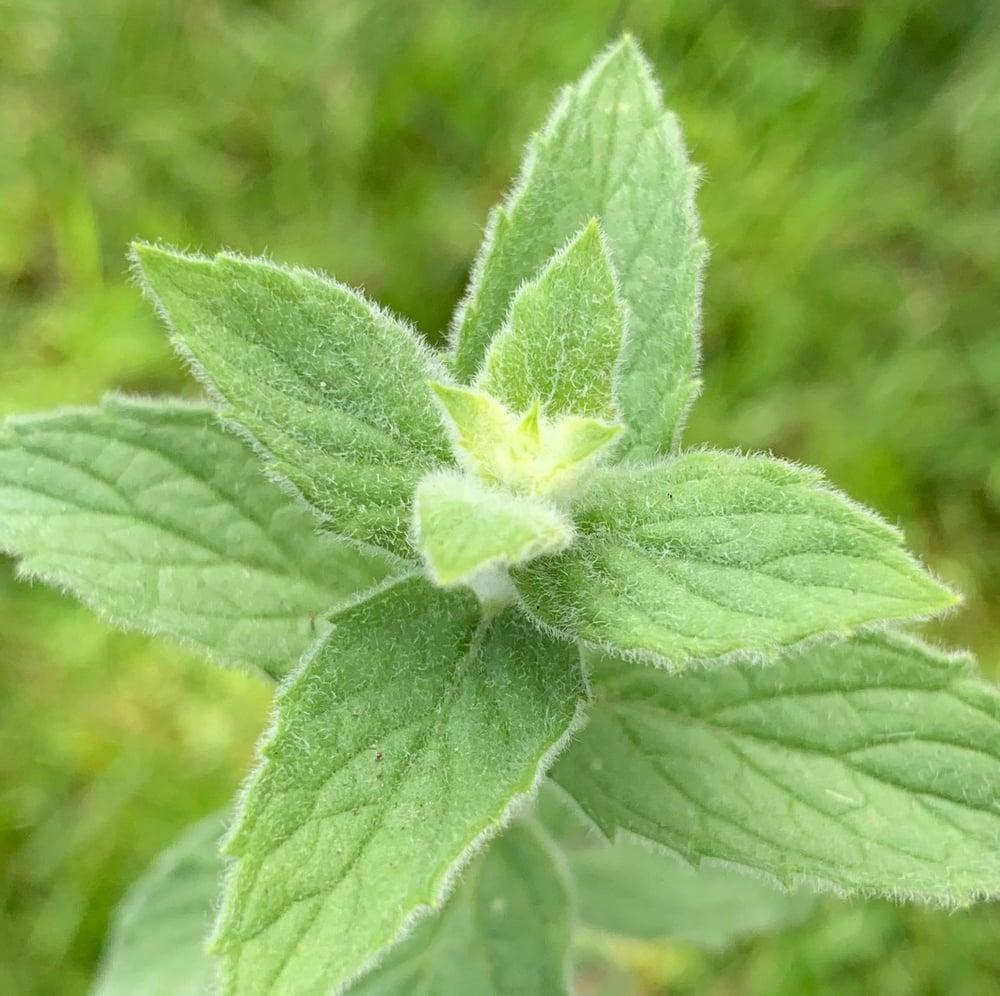 Image of Single Mint Plant
