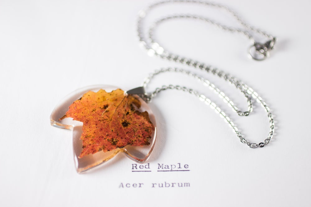 Image of Autumn Maple Leaf (Acer rubrum) - Small #1