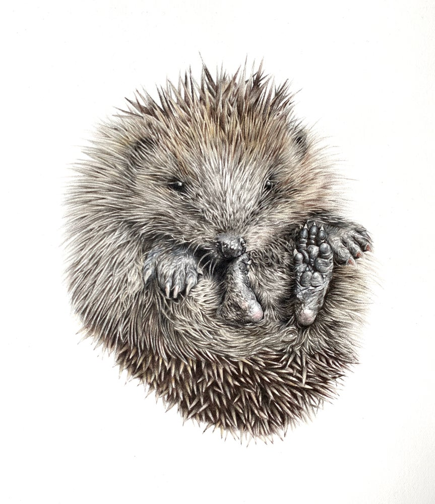Image of 'Hedgie' Limited Edition Mounted Print