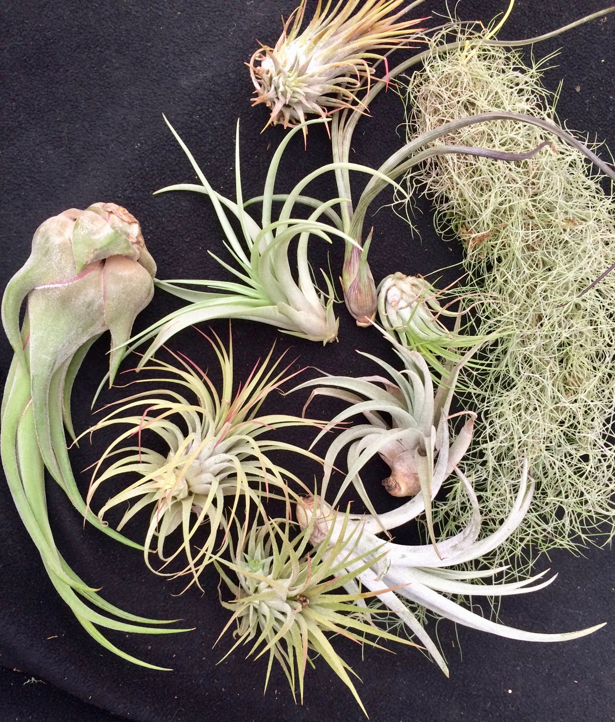 Image of 10 mixed Tillandsia