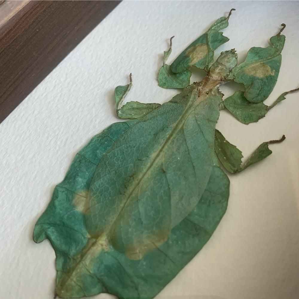 Image of Phyllium Giganteum - green