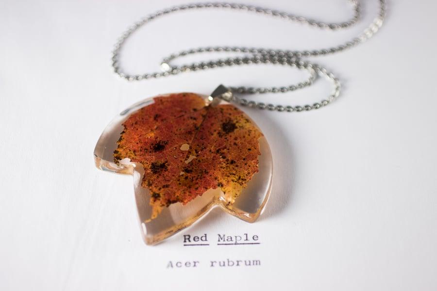 Image of Autumn Maple Leaf (Acer rubrum) - Medium #3