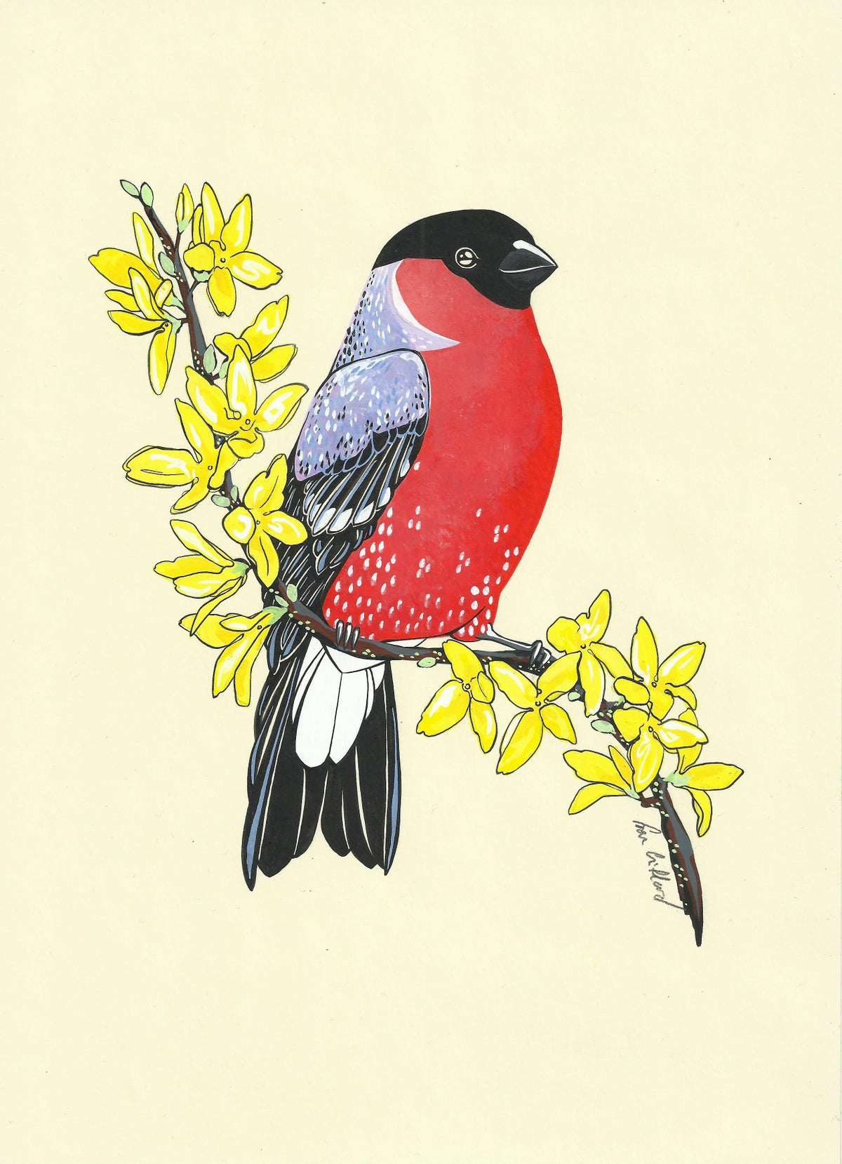 Image of Bullfinch and Forsythia