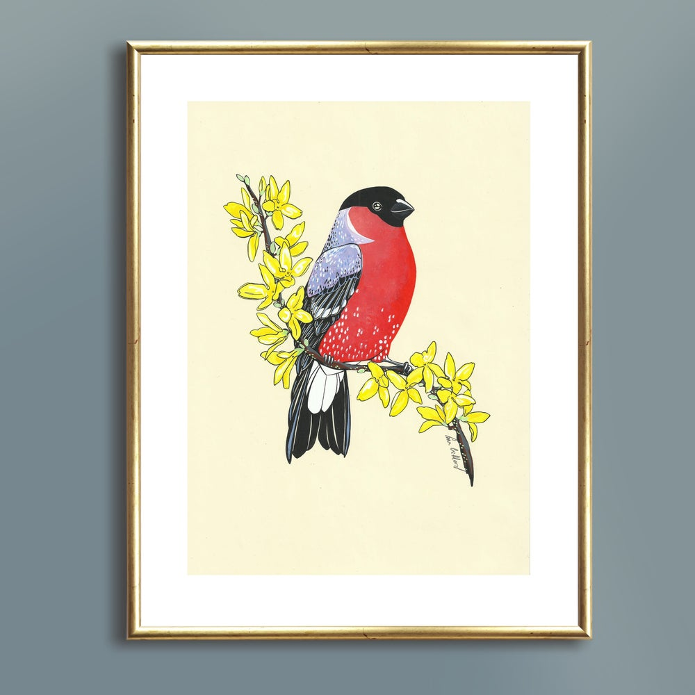 Image of Bullfinch and Forsythia