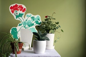 Image of Houseplants: Geranium #2