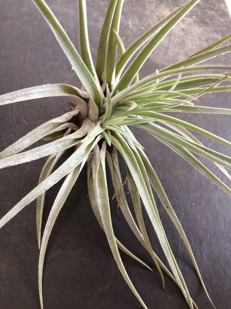 Image of Tillandsia oaxacana