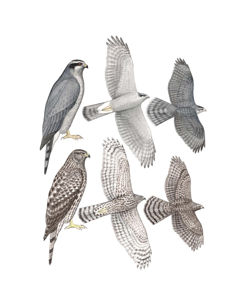 "Image of 11x14"" Limited Giclee Print: Northern Goshawk Plate"