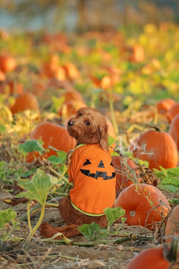 Image of The Perfect Pumpkin Patch Digital Backgrounds