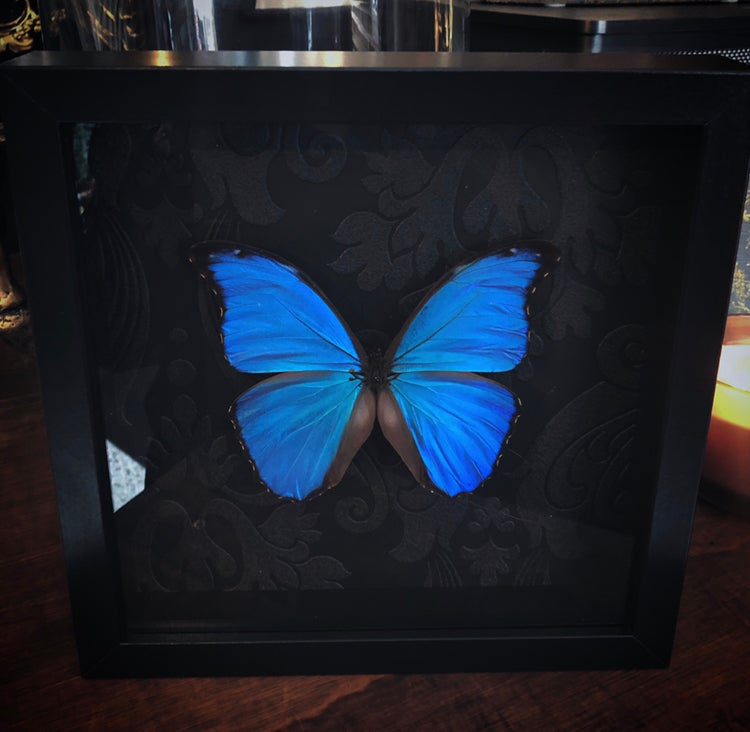 Image of Black Frame Blue Morpho