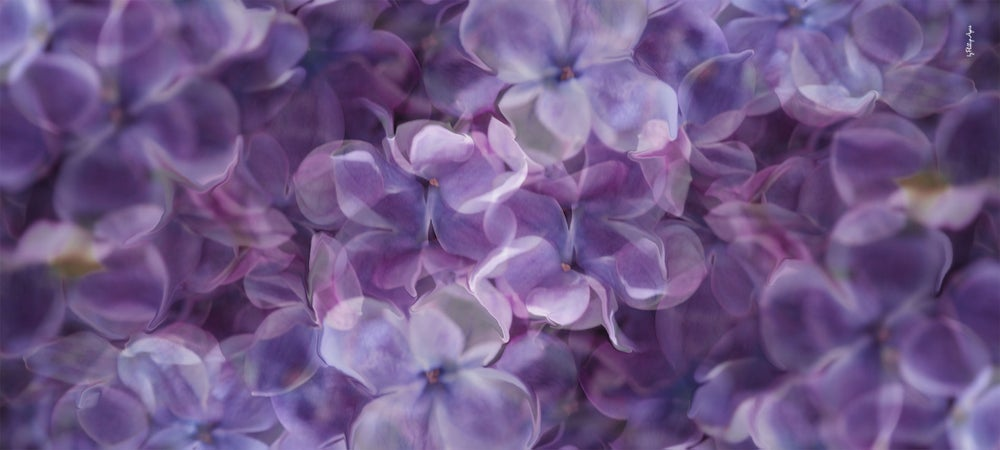 Image of Silk Cashmere Blue Lilac Scarf