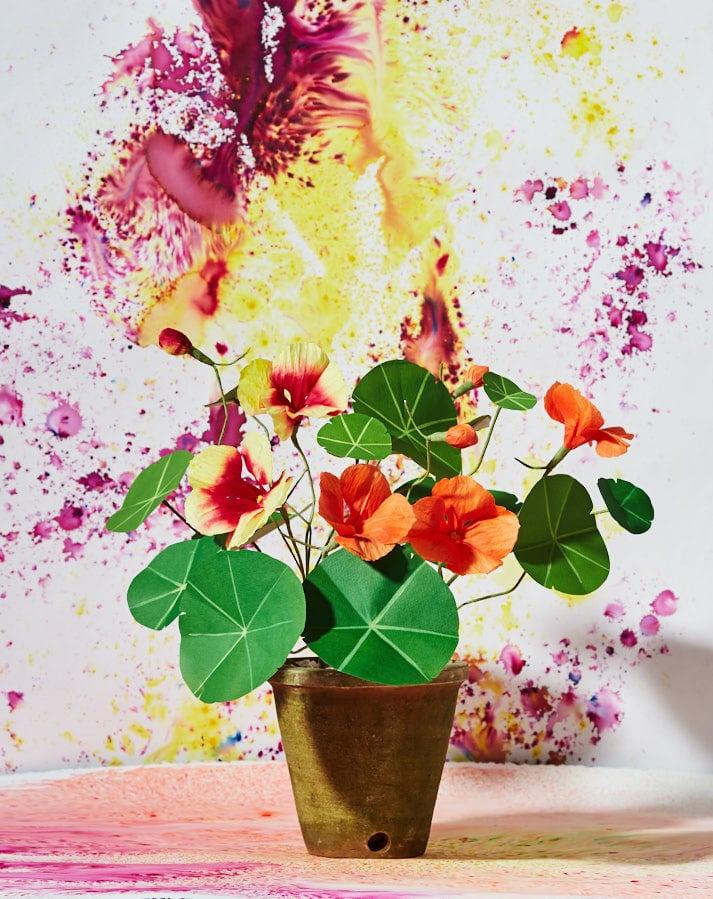 Image of Nasturtium Plant