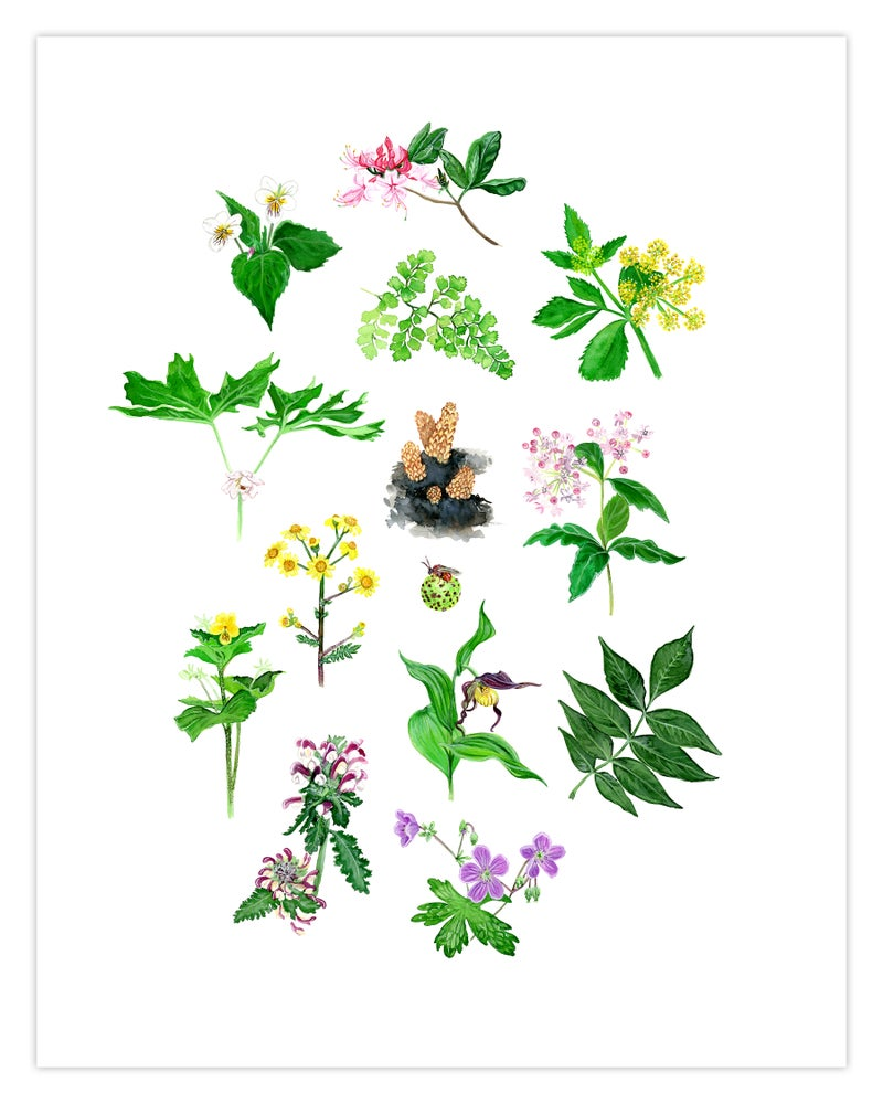 Image of COMMON FLOWERS & PLANTS OF THE APPALACHIAN TRAIL: 11x14 INCH LIMITED EDITION PRINT