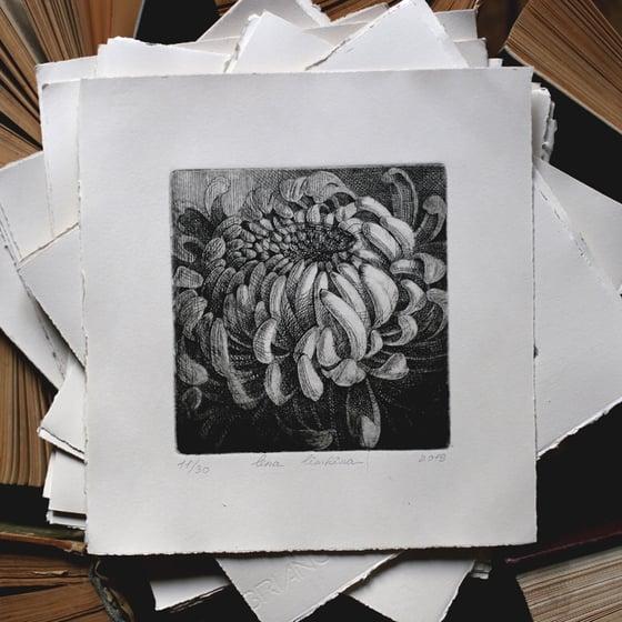 Image of Chrysanthemum. Etching
