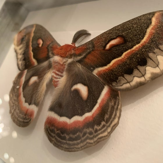 Image of Male Cecropia Moth