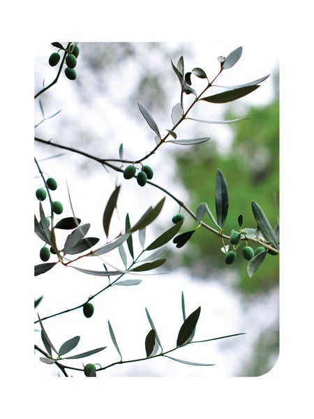 "Image of Carte postale ""OLIVE TREE"""