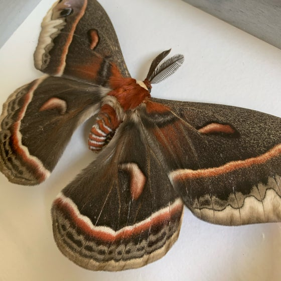 Image of Male & Female pair - cecropia moth