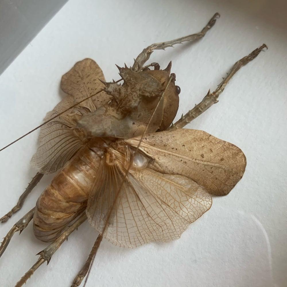 Image of Dragon's Head Grasshopper