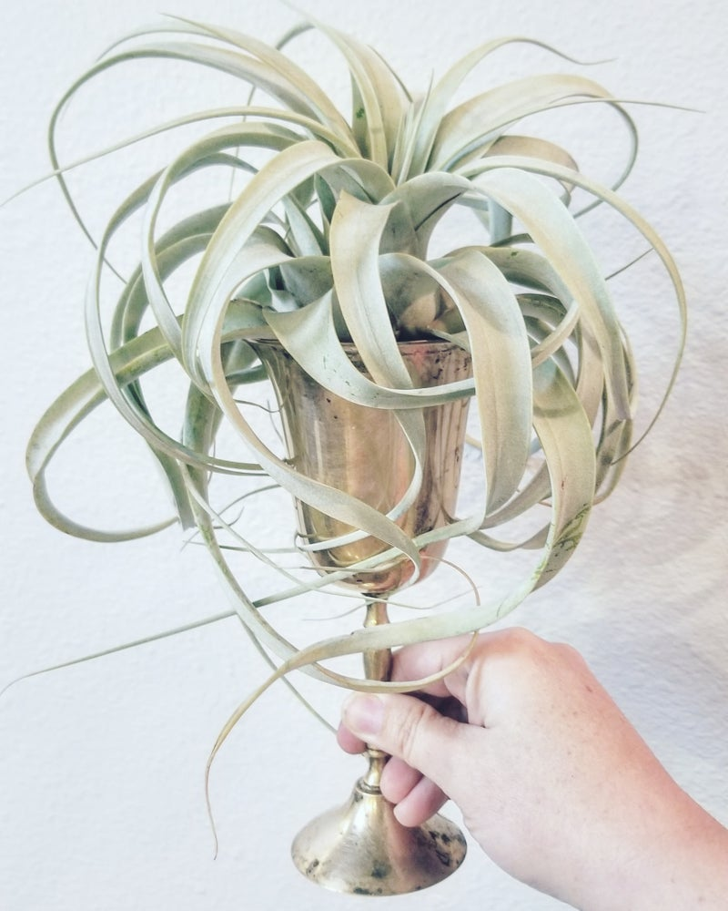 Image of Large Tillandsia Xerographica in a Vintage Silver Plate Goblet