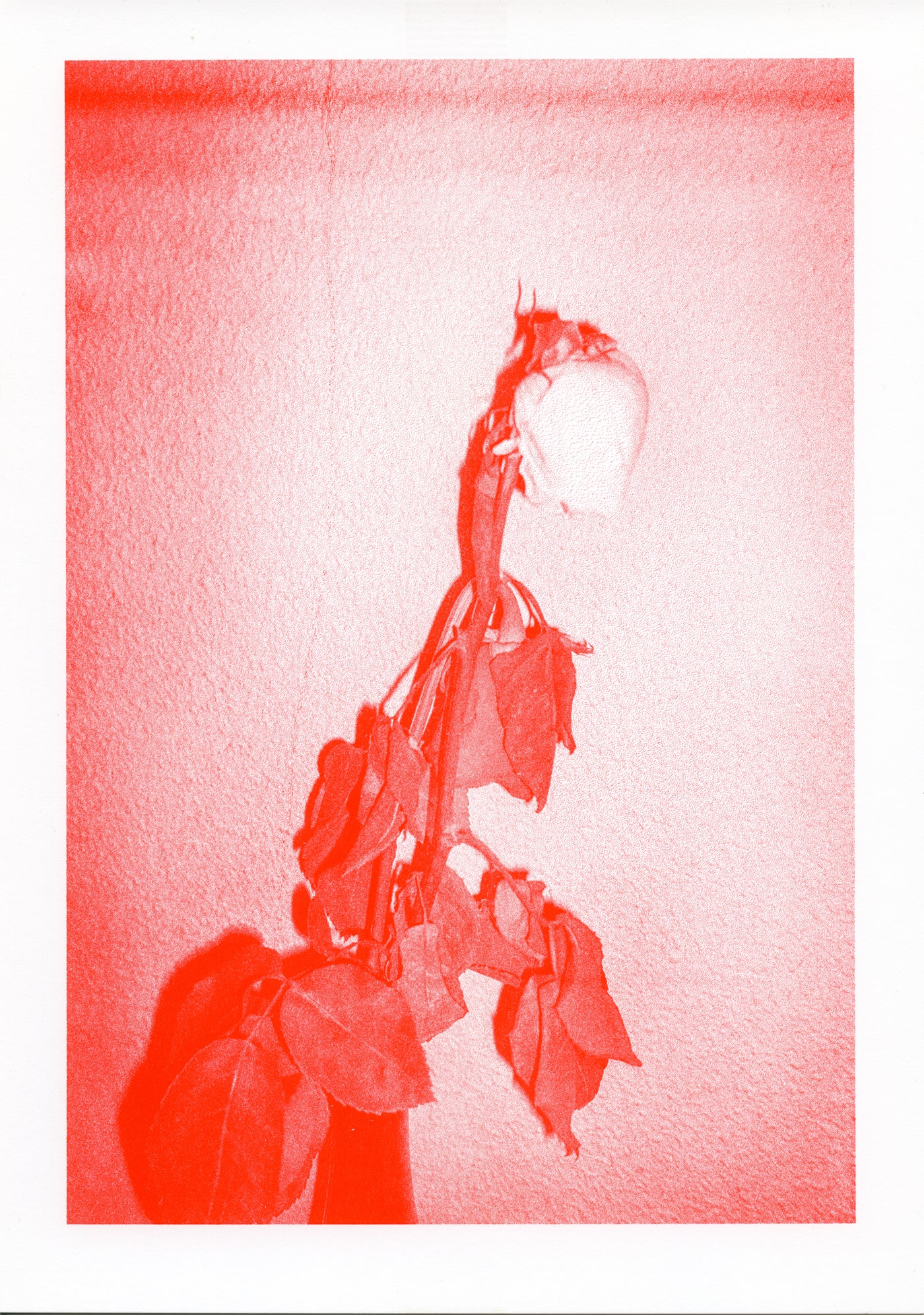 Image of RED ROSES riso print