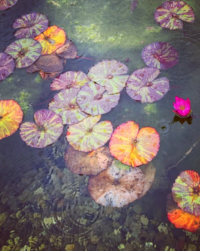 Image of 'Wet Lily Pads' - LIMITD EDITION, SIGNED PRINT