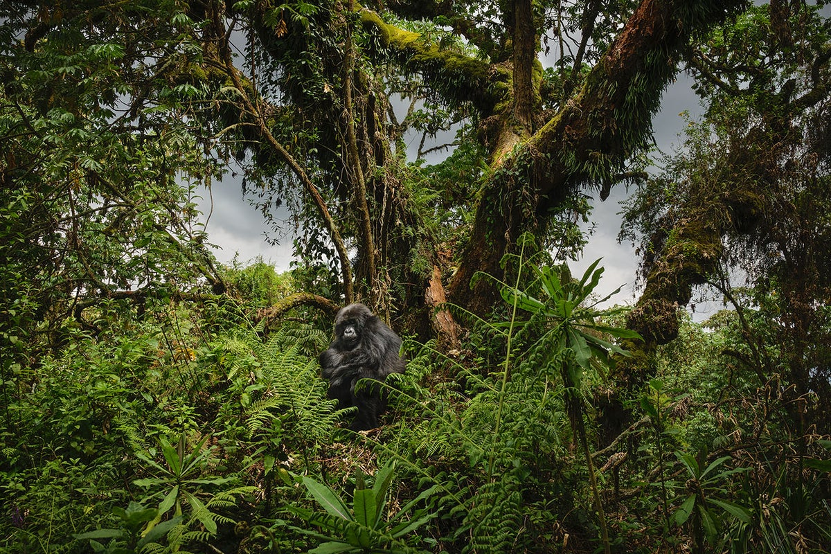 Image of Gorilla in the Forest, Rwanda
