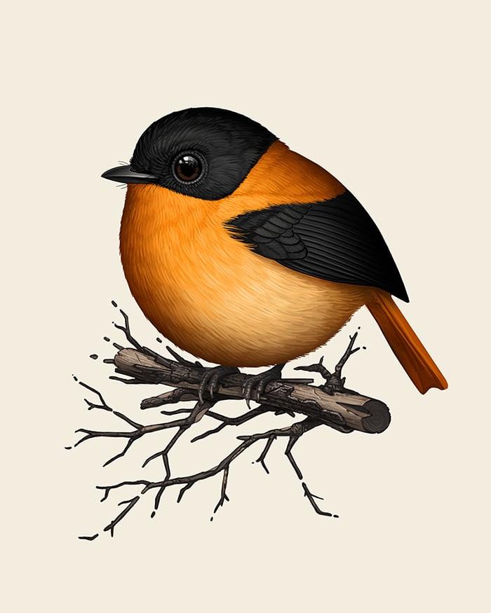 Image of Black-and-orange Flycatcher
