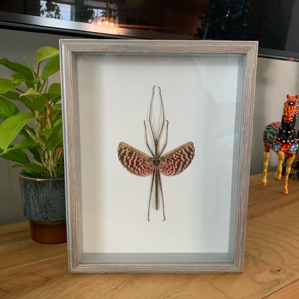 Image of Giant walking stick bug