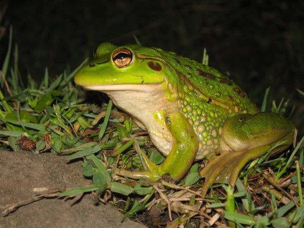 Image of Tarralla Creek Frog Education Night with Leap into Nature