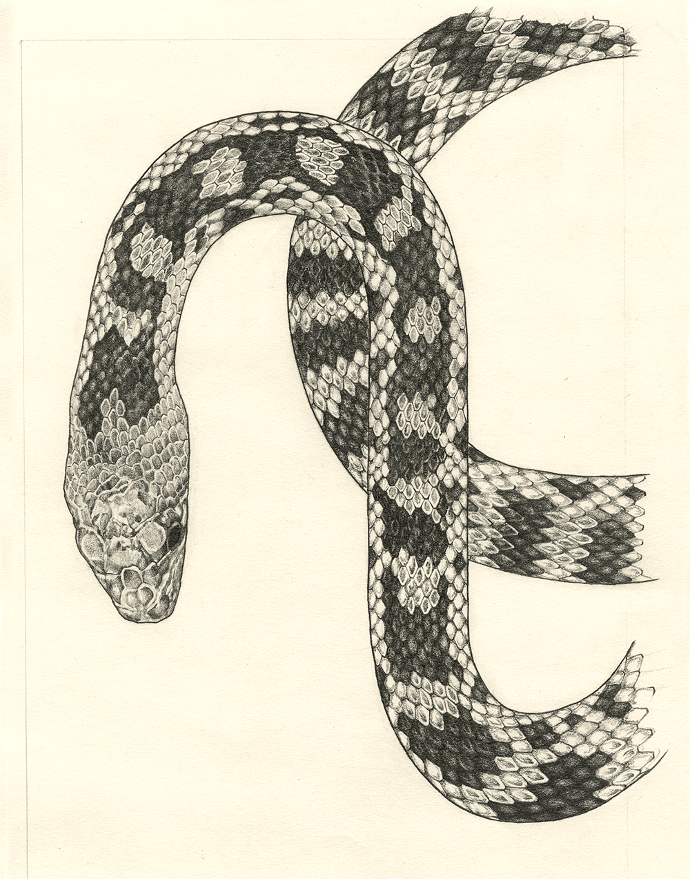 Image of Graphite Gopher Snake