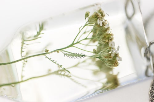 Image of Yarrow (Achillea millefolium) - Small #3